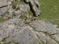 Col de la Cayolle - Marmottes