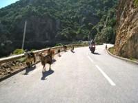 Route à chèvres