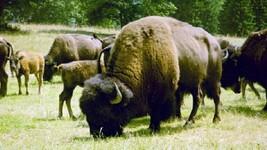 ranch aux bisons