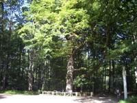 chêne de Sainte Croix, forêt de Laigue