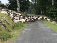 La route appartient aux moutons
