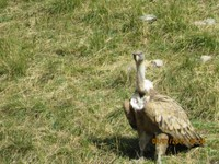 vautoure