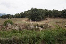 L'olivier millénaire depuis le site de Filitosa